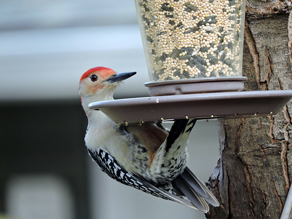 Red-Bellied Woodpecker 3